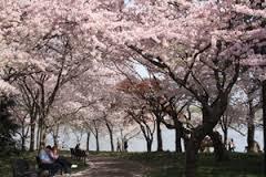 Cherry blossom trees on Washington, D.C.'s tidal basin. Photo courtesy National Park Service.