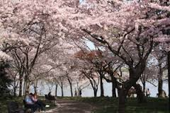 Cherry blossom trees on Washington, D.C.'s tidal basin. Photo courtesy National Park Service.